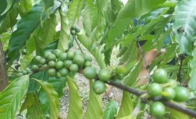 Зеленый кофе с имбирем для похудения отзывы